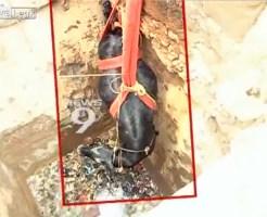 【ハプニング】井戸から救出失敗・・・徐々に沈んでいく妊娠した牛・・・