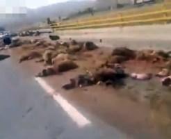 【閲覧注意】まさに大量虐殺!トラックが羊の群れに突っ込んだらこうなる・・・