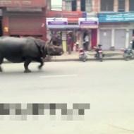 【衝撃映像】街中でサイが暴走!圧倒的な存在感www 動画有り