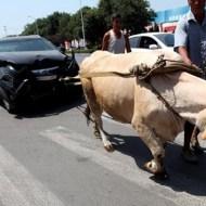 【衝撃映像】車で思いっきり牛をはねた結果・・・w ※動画有り