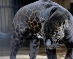 【衝撃映像】リアルモンハンw豹とハンターが本気の死闘・・・