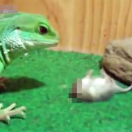 【グロ注意】カメレオンに頭を食い千切られたネズミが走り続けてる・・・