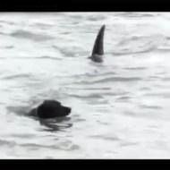 【危機一髪】逃げてぇ~~!!海で遊ぶ犬の後ろに巨大なサメが・・・