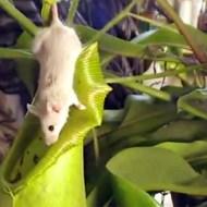【閲覧注意】マウスを食べたウツボカズラ(食虫植物)を解剖してみた