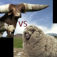 【衝撃映像】牛VS羊 自分の数倍大きい牛を殺すジャイアントキリング
