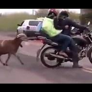 【おもしろ】ヤギVS人間 攻撃的な草食動物は意外と怖いw