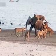 【動物】子象VSライオン14匹の死闘が凄いwww