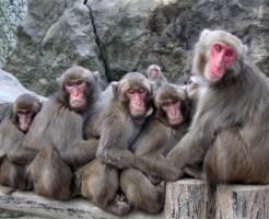 【奇跡】感電して死んだ猿を・・・仲間の猿が荒治療で蘇生させる神映像w