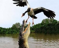 【衝撃映像】そっちに行っちゃらめぇ~!自ら食べられに行った鳥w