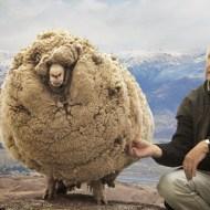 【驚愕】羊のタックル強すぎw車とか簡単に破壊するwww