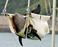 【虐待】マジかよ・・・飼育員がイルカを虐待する映像が流出