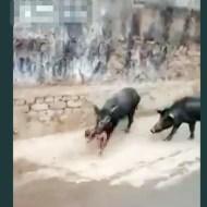 【閲覧注意】豚が咥えてるのってもしかして人間の赤ちゃん・・・? 動画有り