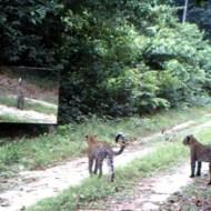 【萌え動画】豹が毎日通る林道に鏡を設置したら可愛いすぎたwww