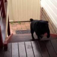 【犬動画】何この動きwwwブルドッグの階段登りが世界一萌えるw