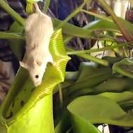【グロ:動物】巨大ウツボカズラの中にダイブしてしまったネズミ 動画2本