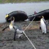【おもしろ】対短足捕獲用兵器に悪戦苦闘するペンギンw