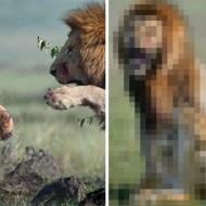 【動物】ライオンのオス同士のガチ喧嘩の後の1枚めっちゃ笑った