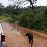 【衝撃:動物】ライオンに狙われるバッファローの子供!それを救ったのは・・・