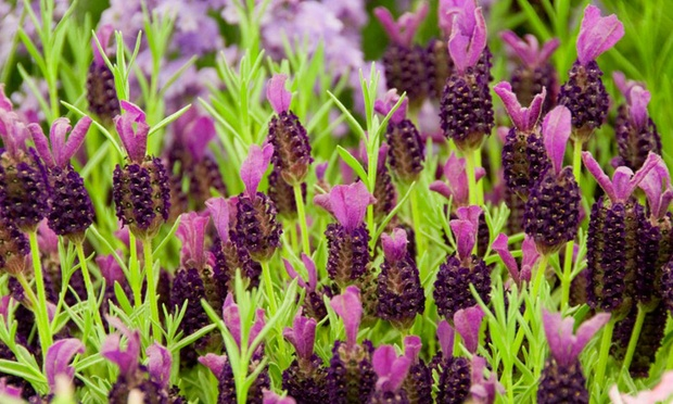 Butterfly Lavender Plants | Groupon Goods
