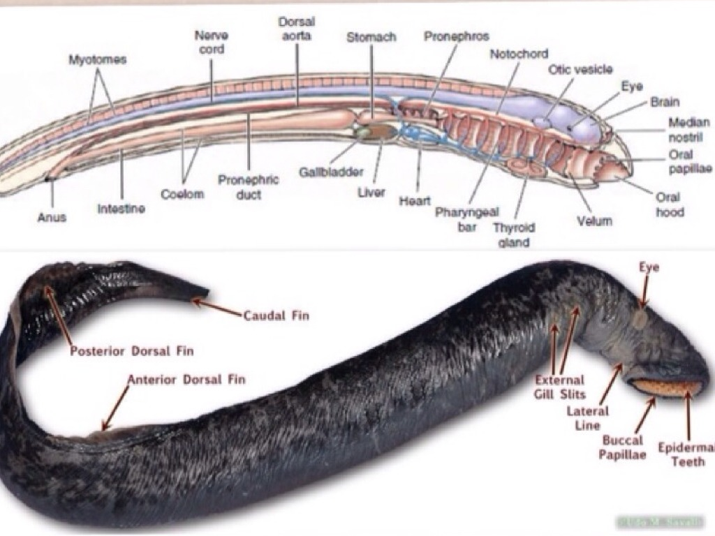 Lamprey Diagram Class Agnatha By Emelia Miller