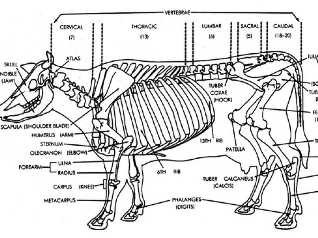 cattle structure diagram