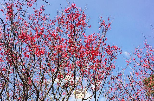 [新北景點] 聽說櫻花開滿了…土城 太極嶺賞櫻