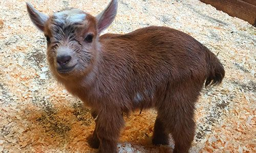 Cute Fat Baby Wallpapers Boston Zoo S Newborn Baby Goat Is Too Cute To Handle