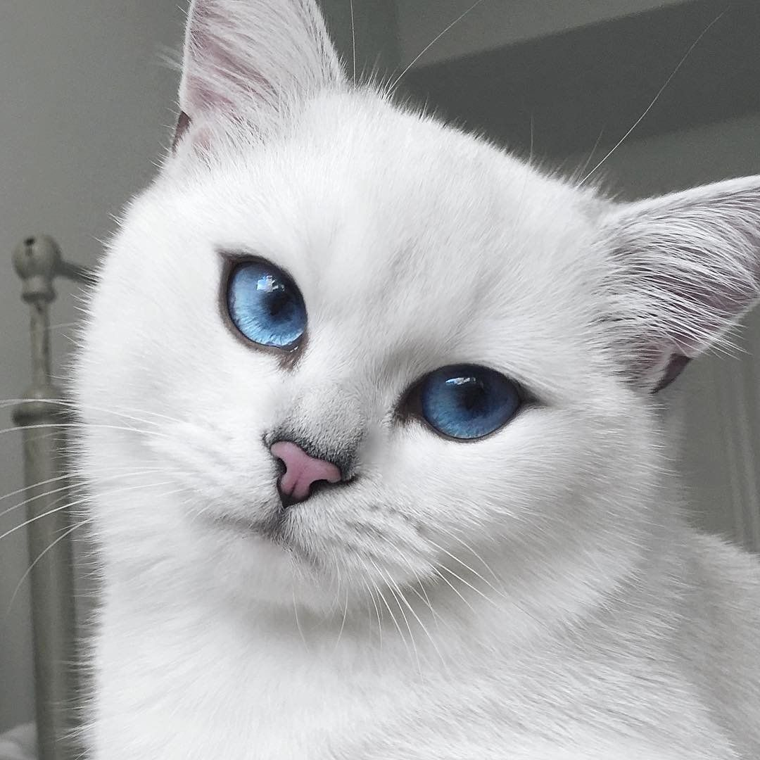 Cute Little Gray Cat For Wallpaper Cat With Blue Eyes And Natural Winged Eyeliner Takes