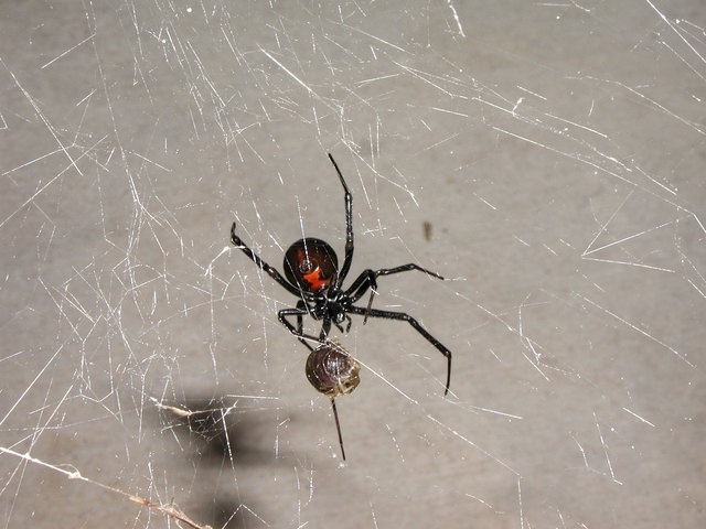 Poisonous Spiders  Insects in Michigan Hunker