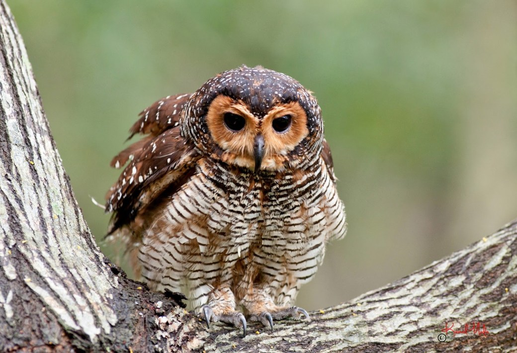 Cute Owl Wallpaper Hd 24 Esp 233 Cies De Corujas Que V 227 O Te Impressionar Mega Curioso