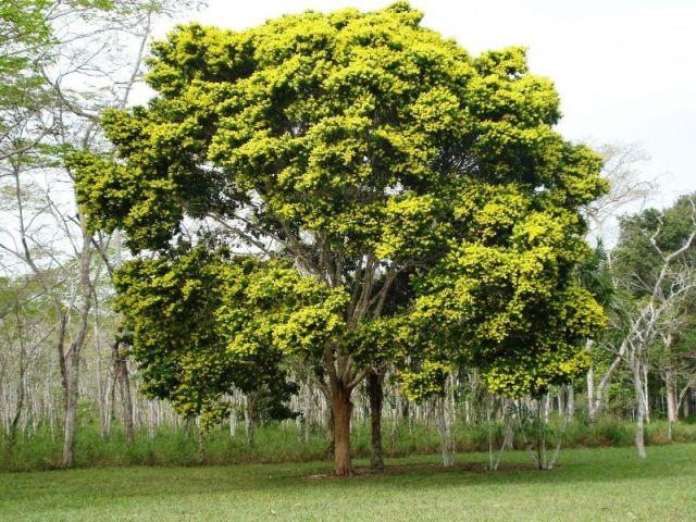 9 curiosidades sobre o pau-brasil, a árvore que dá nome ao nosso país 9 curiosidades sobre o pau-brasil, a árvore que dá nome ao nosso país 03162622901043