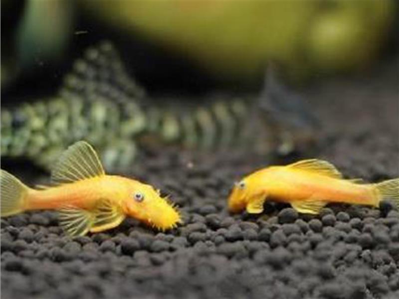 黃金鼠魚吃什麼 可以提供冷凍豐年蝦 - 愛寵物咨詢網