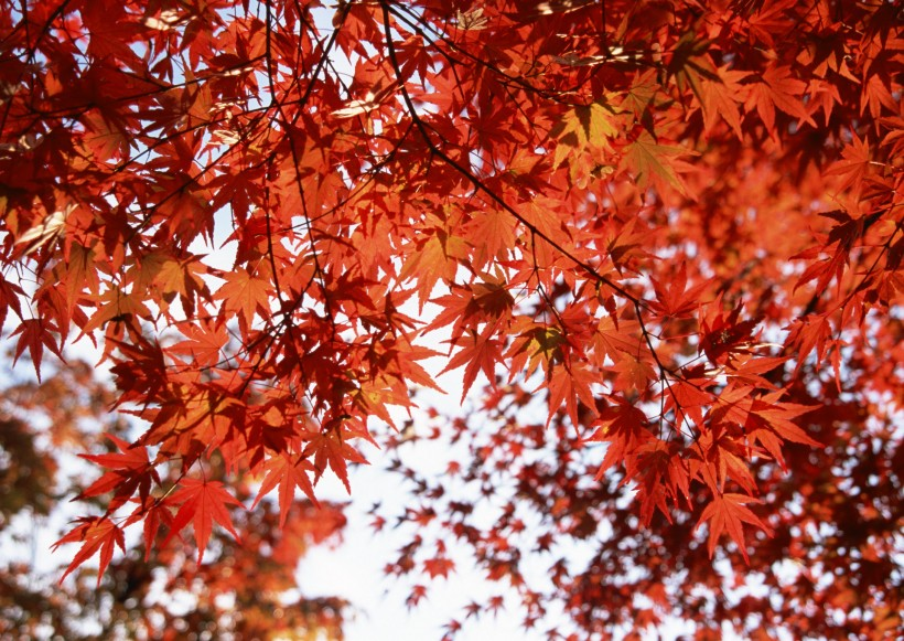 Fall Leaves Desktop Wallpaper Backgrounds 枫树图片 第8张 尺寸 2180x1547 天堂图片网