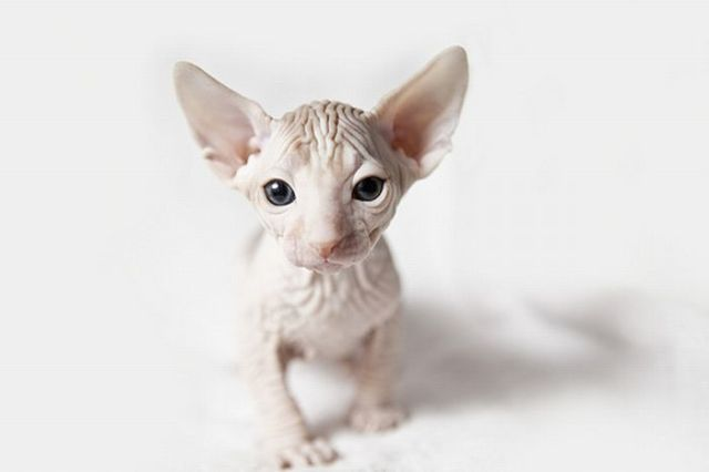 Beauty Quote Wallpaper Hairless Cats 20 Pics Izismile Com