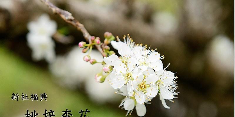 [台中。新社] 福興桃接李園 (01/26花況)