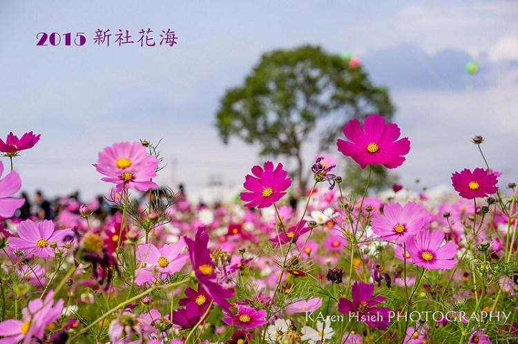 [台中。北屯區] 2015 新社花海 (12/1 花況)