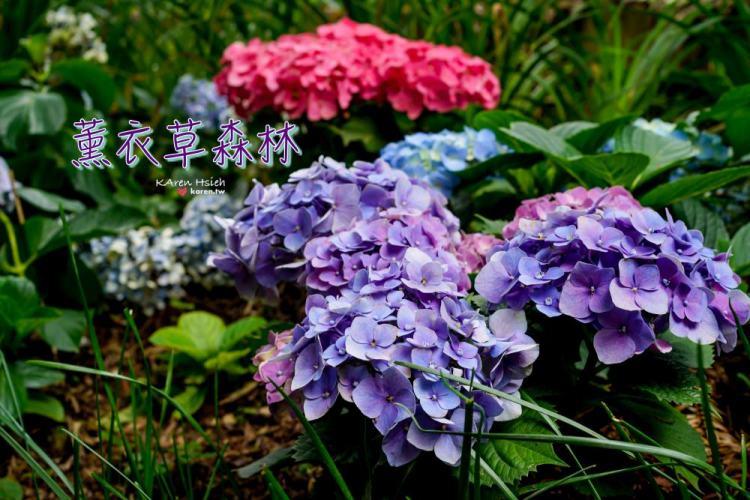 薰衣草森林 | 繡球花正美,浪漫約會景點