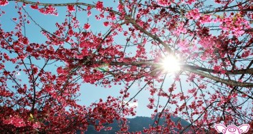 【新中橫草坪頭玉山觀光茶園】浪漫粉紅櫻花開滿山