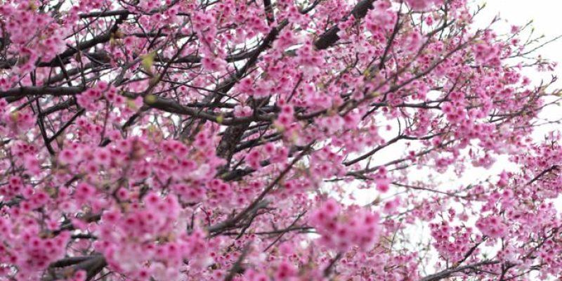 陽明山賞櫻推薦》平菁佳櫻 - 美爆的櫻花