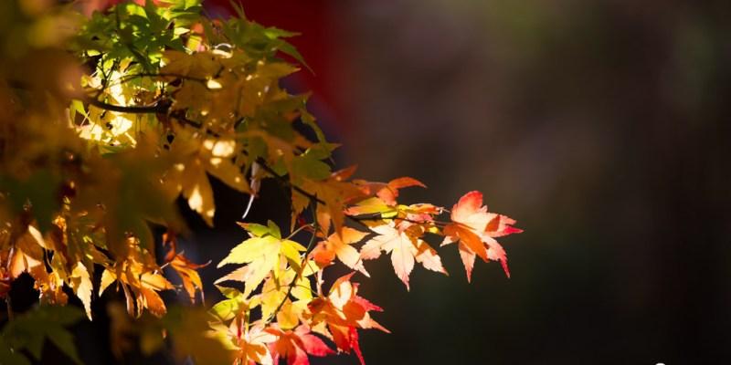 台中旅遊推薦》福壽山楓情 - 絕美紅葉