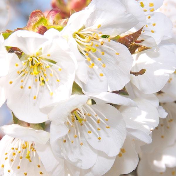 Gama Flores de Cerezo Perfume y Cuidados Cuerpo L\u0027Occitane