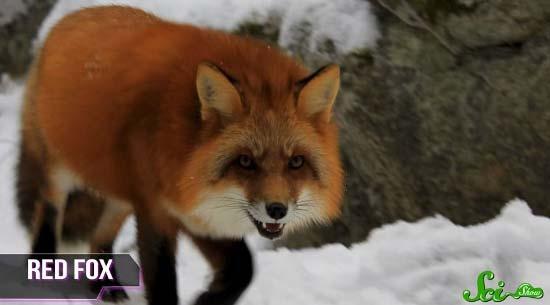 fox1-(550x305)