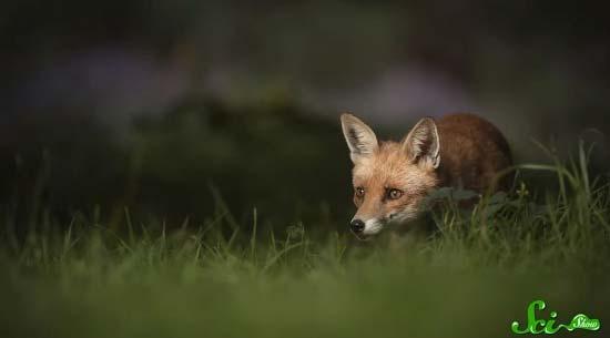 fox2-(550x305)