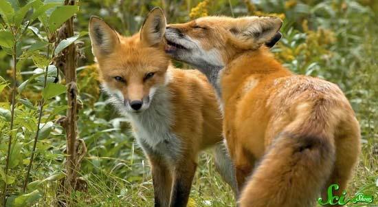 fox3-(550x301)