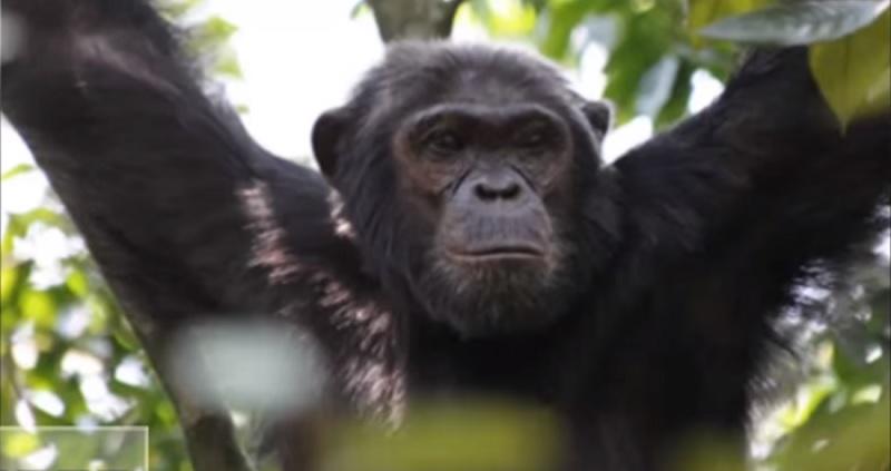我々はチンパンジーと子作りできるのか? とある博士の異常な実験