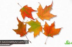 秋になると葉っぱが緑から赤に変わるのはなぜ?