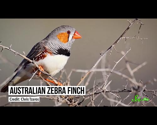 鳥たちは卵に歌いかけている–歌声が孵化前の雛にもたらす影響とは