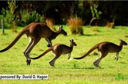 カンガルーやバッタの驚異のジャンプ力の秘密