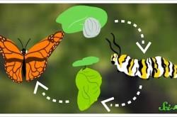 サナギから蝶になるとき、なにが起こっているのか?