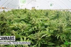 ハイにならない大麻の成分「CBD」の可能性